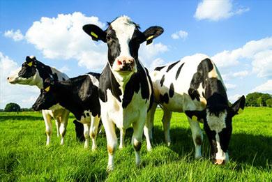Behandlung von Nutztieren